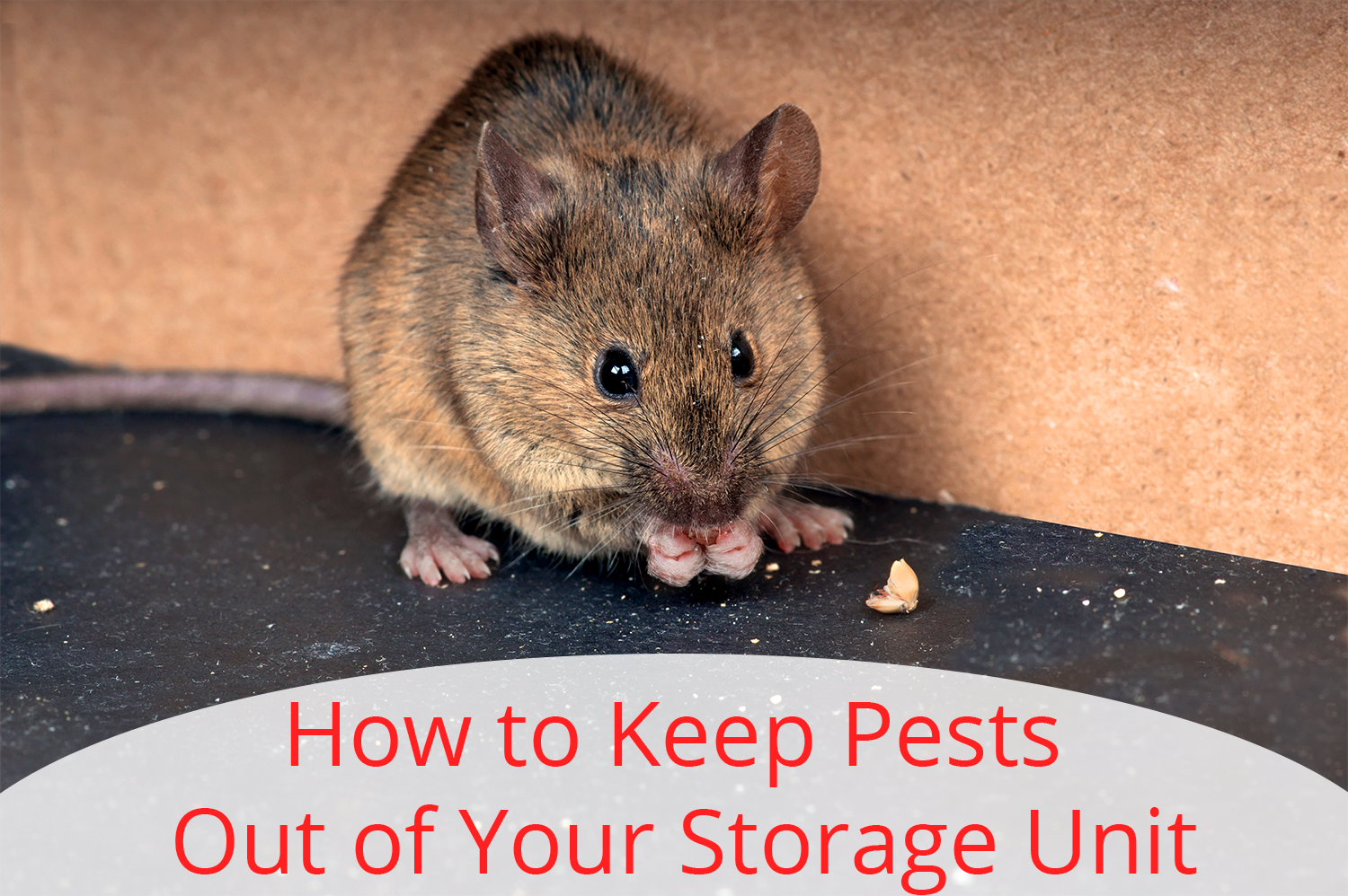 A brown mouse eating a seed next to a cardboard box. If only the storage unit owner knew about how to keep pests out of your storage unit.